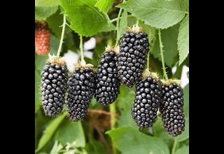 Beschreibung und Eigenschaften der Brombeersorte Karaka Black, Pflanzung und Pflege