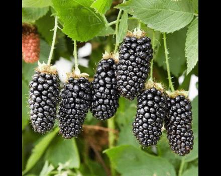 Opis a charakteristika odrody ostružiny Karaka Black, výsadba a starostlivosť