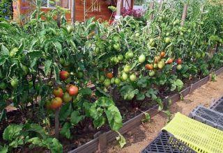 Cómo plantar, cultivar y cuidar tomates en campo abierto.
