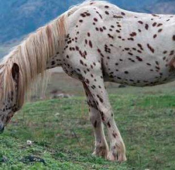 Descripción y razas de caballos chubar, historia de apariencia y matices de color.