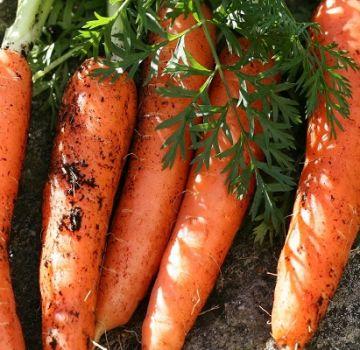 Caractéristiques et rendement des variétés de carottes Canada