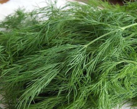 Opis odrody kopru Kibray, odporúčania pre starostlivosť a kultiváciu
