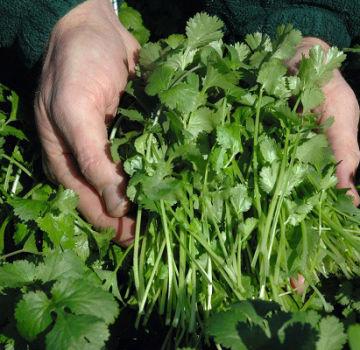 Descripción de la variedad de cilantro Caribe, características de cultivo y cuidado.