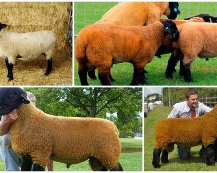 Descrierea și caracteristicile oilor Suffolk, caracteristicile conținutului