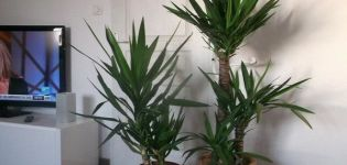 14 variedades populares de yuca con descripciones y características