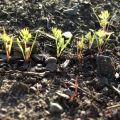 Când să plantați morcovi iarna pentru depozitare