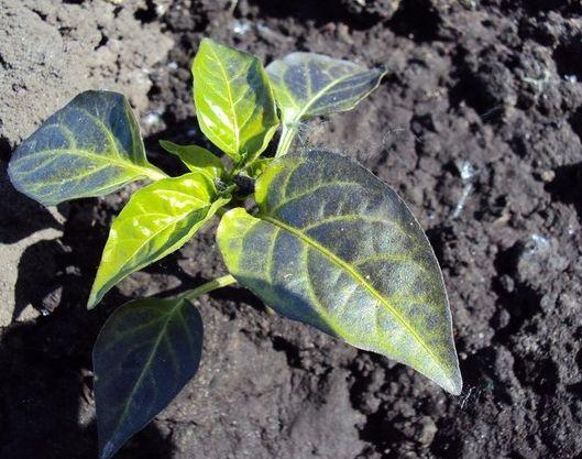 fialové listy korenia v záhrade