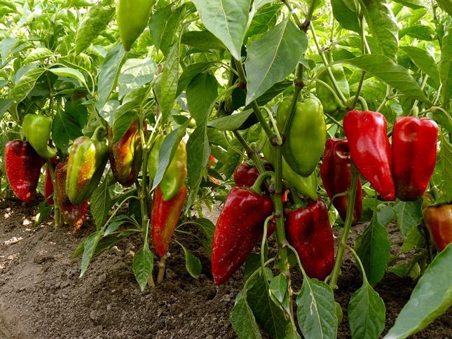pimienta en el jardín