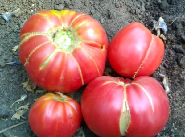 apariția unui secret al bunicii de tomate