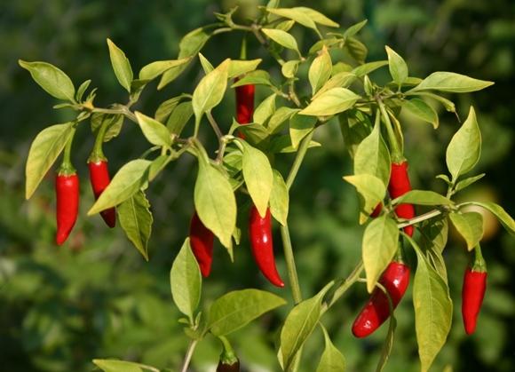 poivre amer dans le jardin