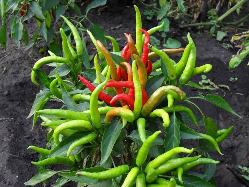 le poivre amer pousse dans le jardin