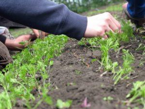 Cum să se subtieze morcovii în câmp deschis în grădină