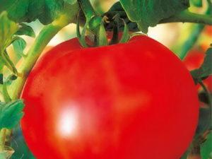 Características y descripción de la variedad de tomate Olya, su rendimiento.