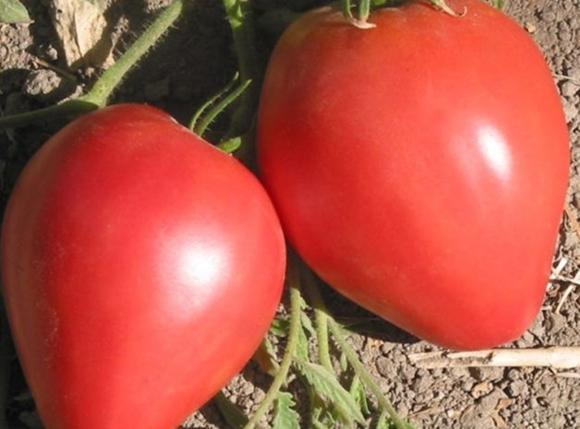 tomate perezoso yace en el suelo
