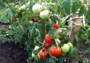 Charakteristika a opis odrody paradajok Nastena, jej výnos