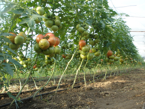 recolta de roșii