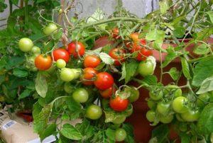 Charakteristika a opis odrody paradajok Sweet kiss, jej výnos