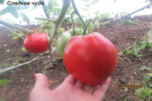Charakteristika a opis odrody paradajok Sladký zázrak, jeho výnos