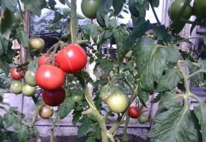 Charakteristiky a opis odrody paradajok Puzatiki