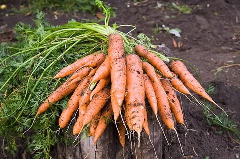 recolta de morcovi