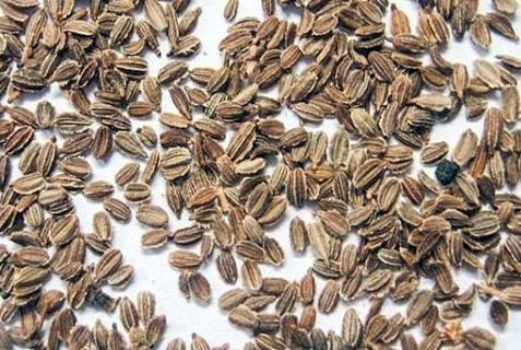 semințe de morcov
