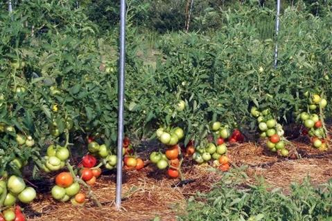 paradajka Hovädzie ružové brandy na záhrade