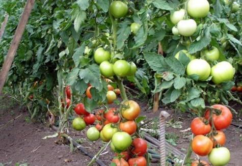paradajkové kríky Ekaterina