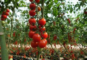 Mikor ültetik palántákat, és hogyan lehet cseresznye paradicsomot termeszteni szabadban és üvegházban