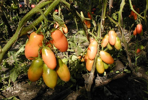 paradajky v tieni