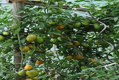 ovocie v kríkoch