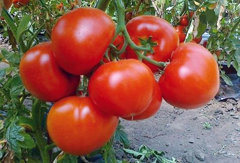 vzhľad paradajok Ekaterina