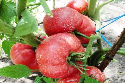 odroda malinový raj