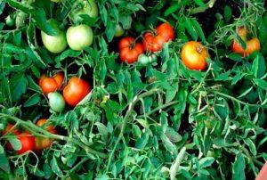 Description et caractéristiques de la variété de tomate Money tree