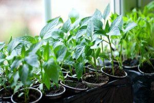 Cultivar chiles en casa en el alféizar de una ventana o balcón