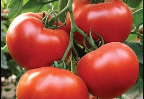 soi de tomate Alamin F1
