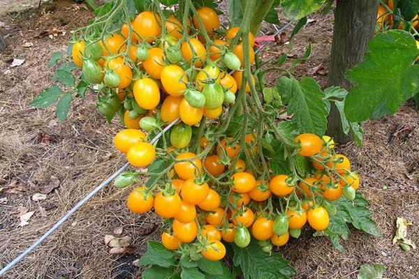 Cultivo de tomate Ildi