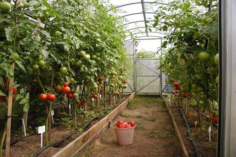 paradajky v skleníku