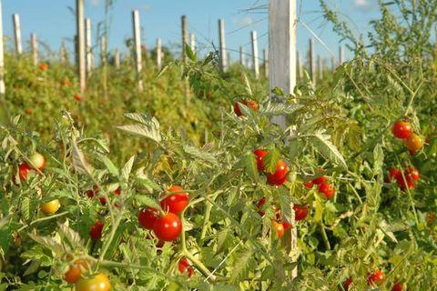 močové rajče