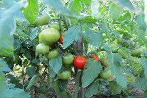 Características y descripción de la variedad de tomate Juggler