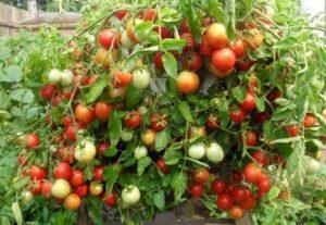 Caracteristicile și descrierea soiului de tomate mândria Babushkina, randamentul său