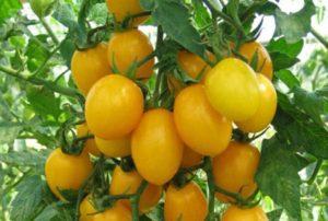 Description et caractéristiques de la variété de tomate ambre régime F1