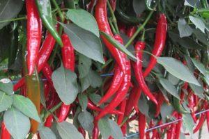 Description des variétés de piments forts en pleine terre