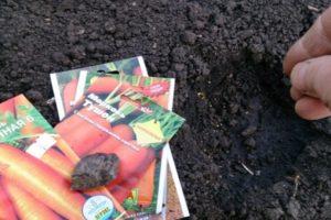 Cum să plantezi corect morcovii cu semințe în câmp deschis