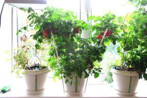 Növekvő beltéri paradicsom otthon egy lakásban