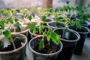 ¿Cuál es la temperatura óptima para cultivar plántulas de tomate?