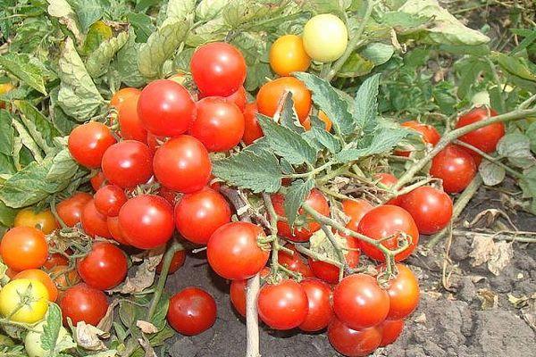 Momento de los tomates