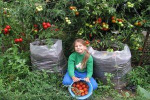 Instrucțiuni pas cu pas pentru cultivarea pungilor de roșii