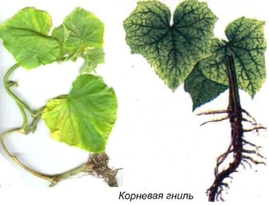 koreňová hniloba uhoriek