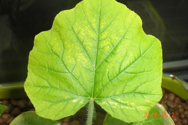 bledá uhorka
