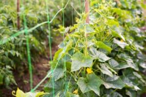 Schema de formare și cultivare a castraveților pe un spalier în câmp deschis
